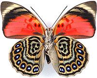 ルリオビタテハ族のページ:リス...