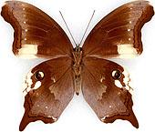 ゴマダラヒカゲ族(Zetherini)のページ