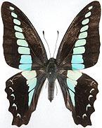 日本の蝶検索:青い蝶